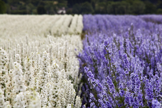 Two colours of English Delphiniums at The Confetti Fields in Wick www.martynferryphotography.com