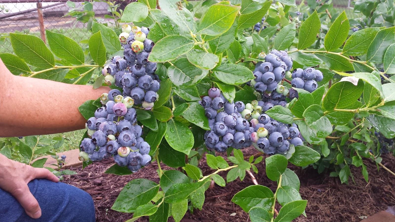blueberry gardening growing big