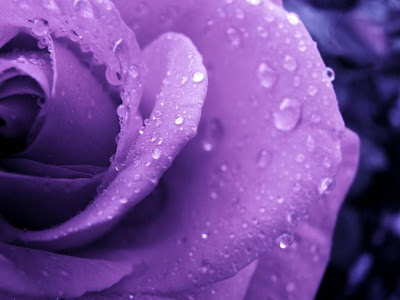 Purple Rose Normal Resolution HD Wallpaper 13