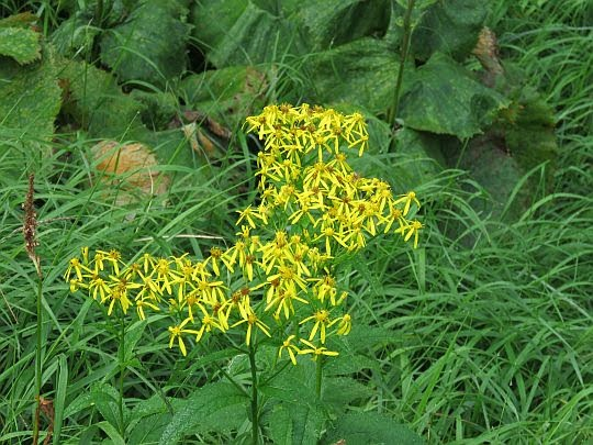 Starzec gajowy (Senecio nemorensis).