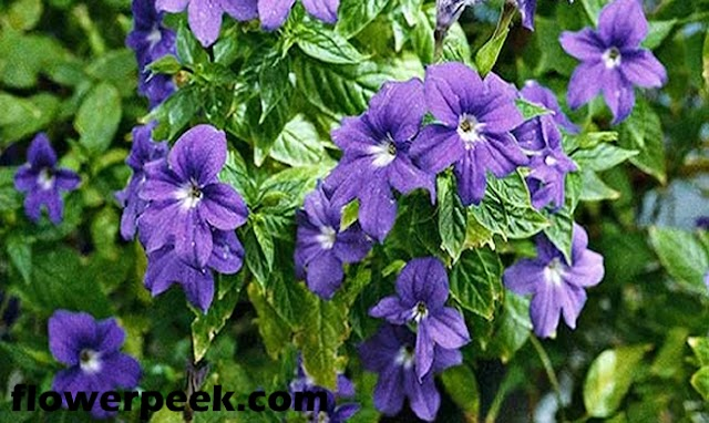 How To Grow Sapphire Flower Plant In Garden