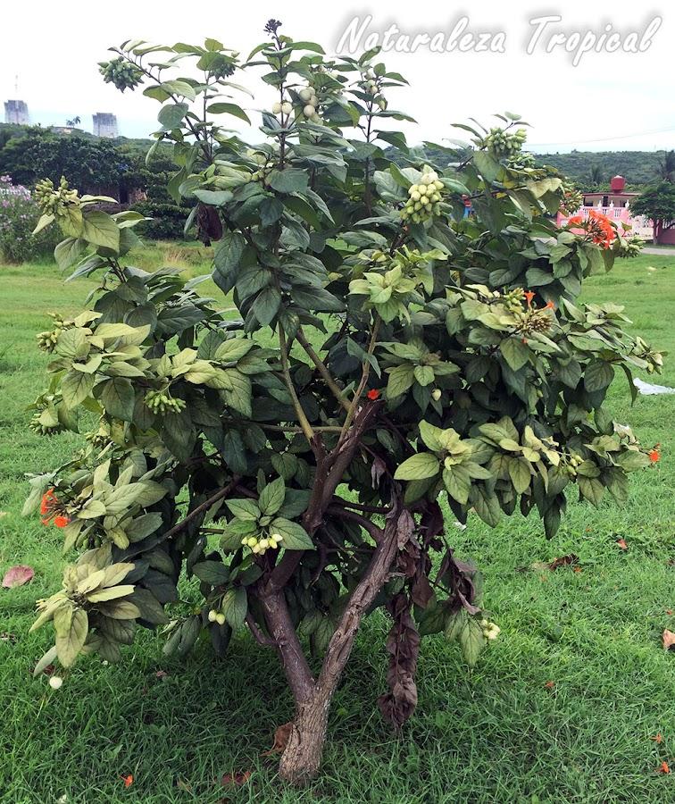 Vista del Árbol o Arbusto Nomeolvides, Cordia sebestena