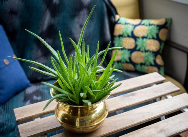 How to grow aloe vera inside room