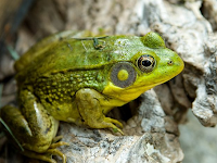 Tahukah anda tentang metamorfosis katak?