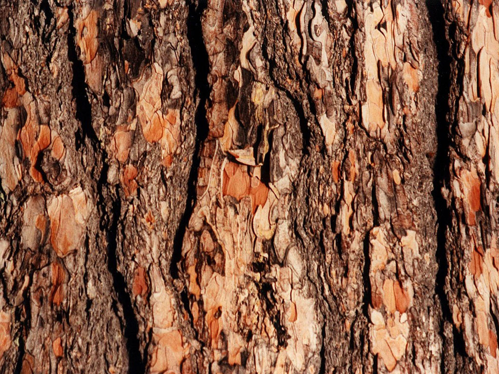 evergreen tree bark background - photo #34