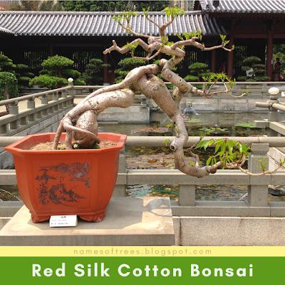 Red Silk Cotton Bonsai