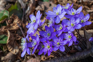 [Ranunculaceae] Hepatica nobilis – Liverwort