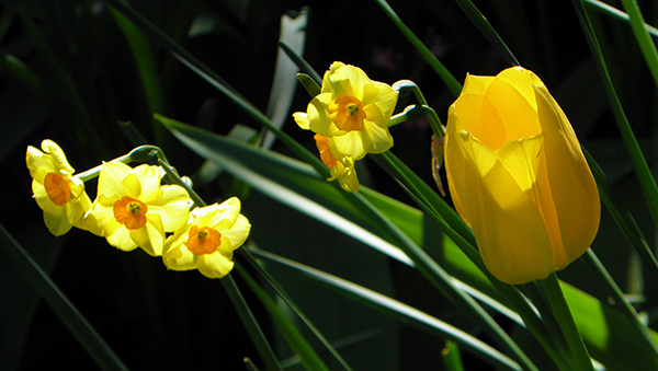 Backlit Yellow Tulip and Narcissus