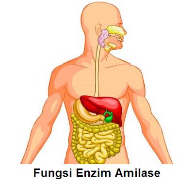 enzim amilase dihasilkan oleh apa - enzim pencernaan