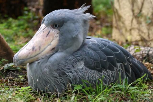 Dinosaur or shoebill stork?