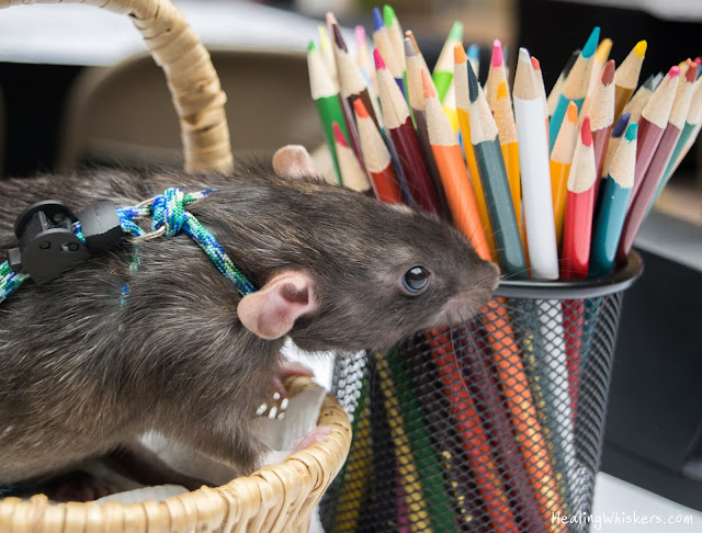 Franklin the Therapy Rat with colored pencils