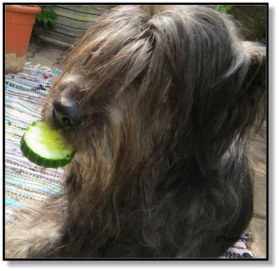 Hund frisst Gurke