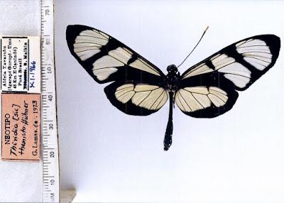 Mariposa temisto (Methona themisto)
