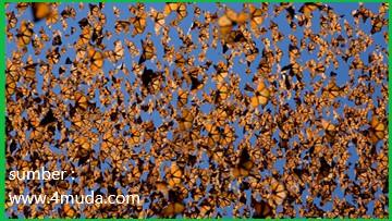 sebagian besar hidup kupu-kupu raja dipakai untuk bermigrasi agar dapat bertahan hidup dari cuaca dingin
