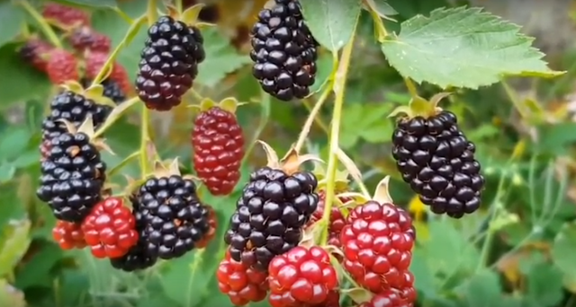 Benefits of Arbei Fruit for Health and Beauty Benefits of Arbei Fruit for Health and Beauty