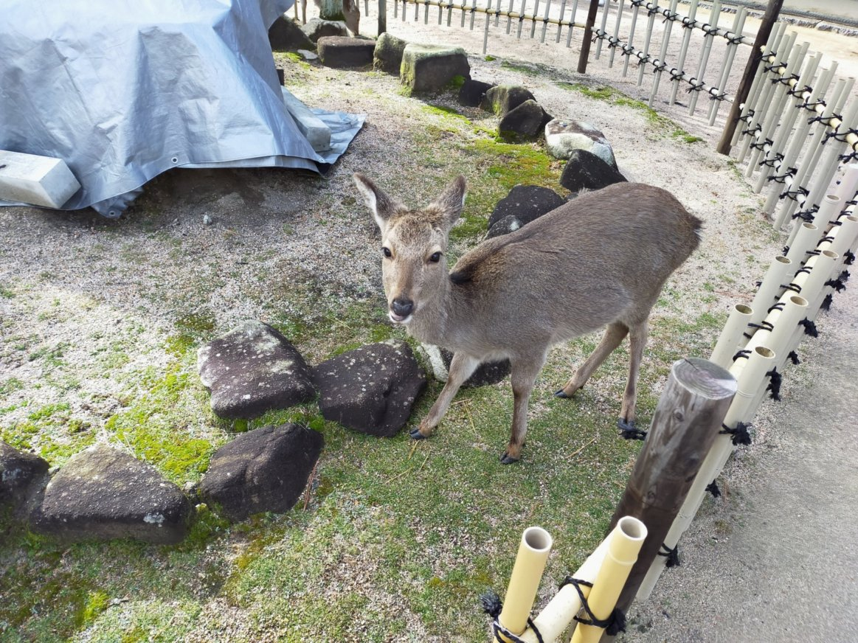 厳島神社の隣の大願寺で出会った鹿。