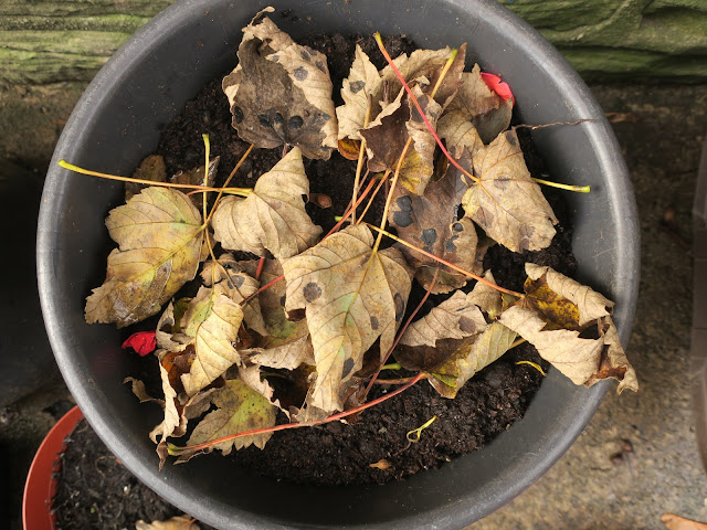 Bulbs in pot under earth, hidden by sycamore leaves to keep them warm. 1st November 2020.