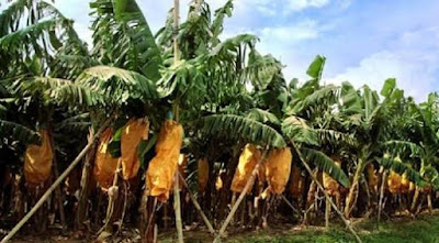 perkebunan pisang indonesia