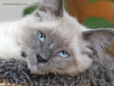 Fergus the kitten has blue eyes
