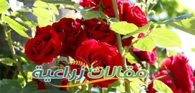 طريقة زراعة الورد الجورى - مقالات زراعية