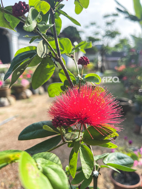 Calliandra Merah Bunga Landak Merah