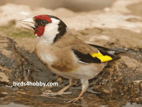 طائر الحسون الأوروبي