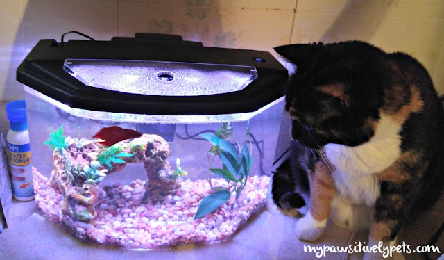 Cat likes her new pet Betta Fish