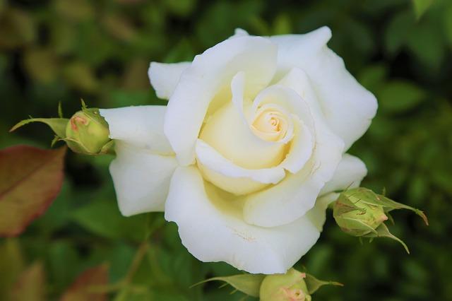 hoa hồng trắng đẹp nhất 5