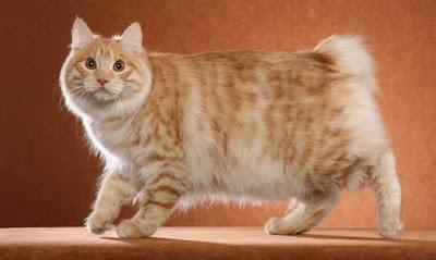 Karakter Kucing Kurilian Bobtail