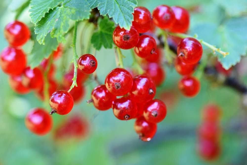 grosella roja fruta congelada mercadona frutas congeladas mercadona calorias frambuesas frutos rojos mercadona propiedades de las frambuesas