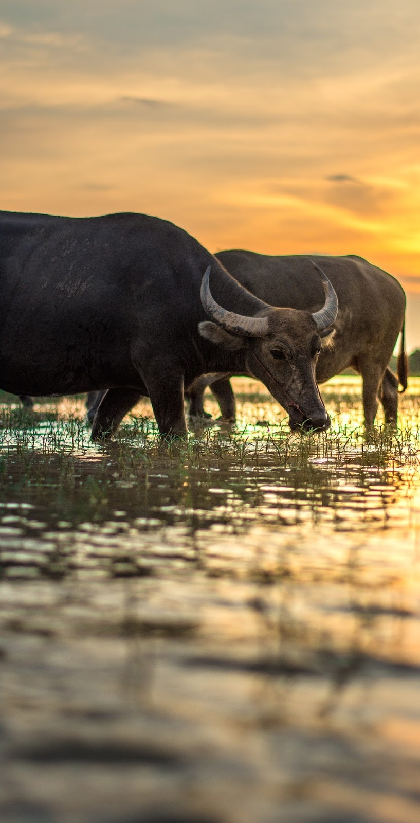 Water buffaloes at sunset.