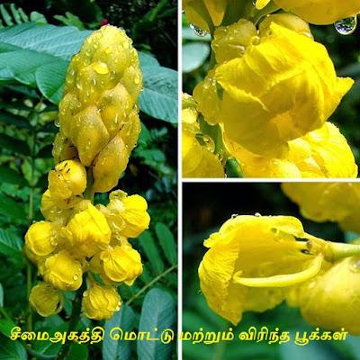 cimai akatti.flower