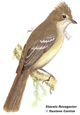 Fiofío copetón Elaenia flavogaster