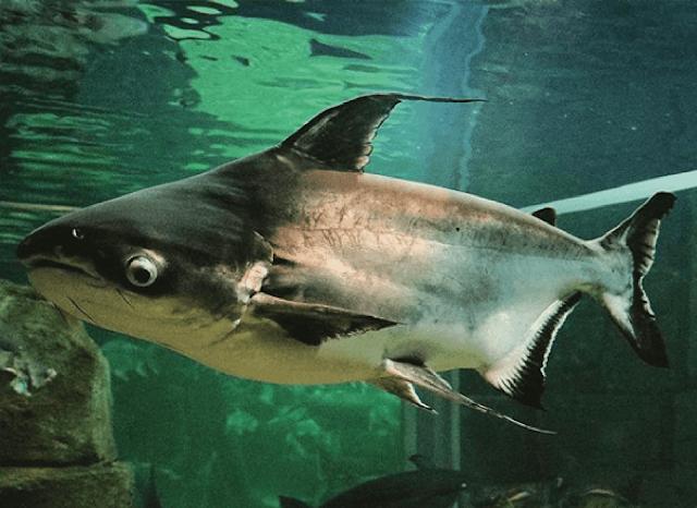 Mengenal Tentang Ikan Patin, Ikan Yang Sering Dijadikan Makanan