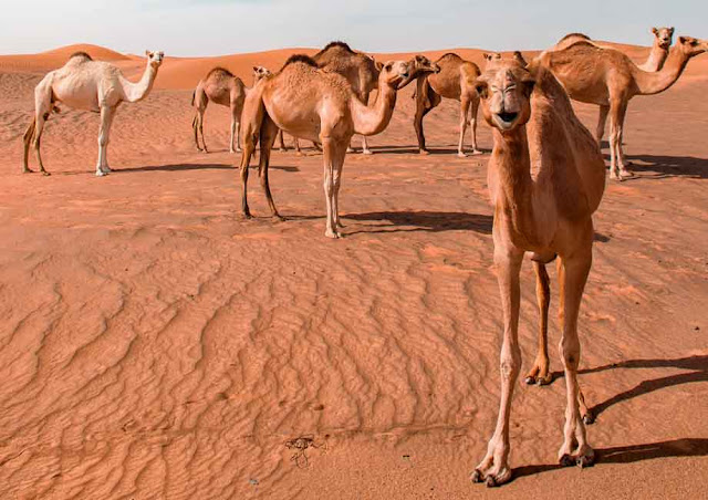 Essay on Camel in English for Childrens and School Students
