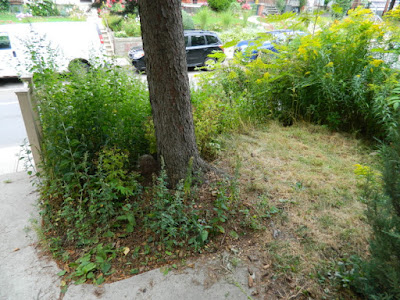 Koreatown Toronto Summer Garden Cleanup Before by Paul Jung Gardening Services--a Toronto Organic Gardener