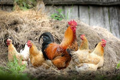 tentang penyakit yang diakibatkan oleh Infeksi bakteri, Parasit, Dan Infeksi yang menyerang ayam secara detail dan terperinci