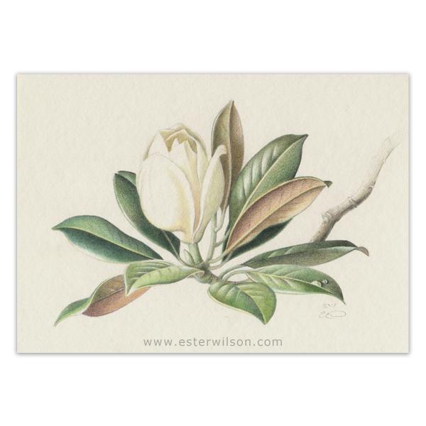 Colored pencil magnolia drawing
