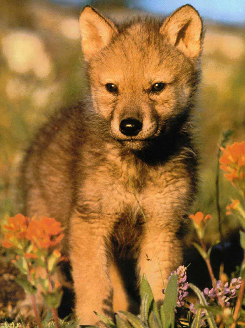 Family Canidae: Red wolf