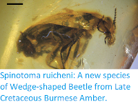 http://sciencythoughts.blogspot.co.uk/2017/11/spinotoma-ruicheni-new-species-of-wedge.html