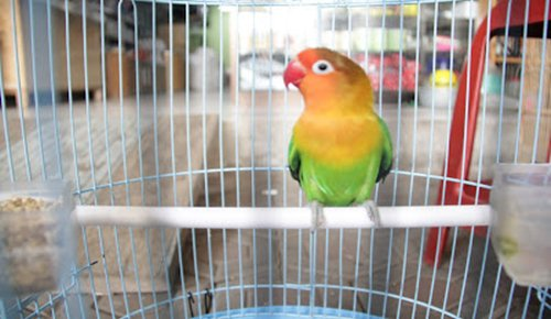 https://miefbird.blogspot.com/2018/03/cara-memilih-lovebird-lomba.html