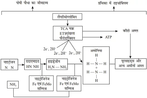 nitrogen-fixation-in-hindi