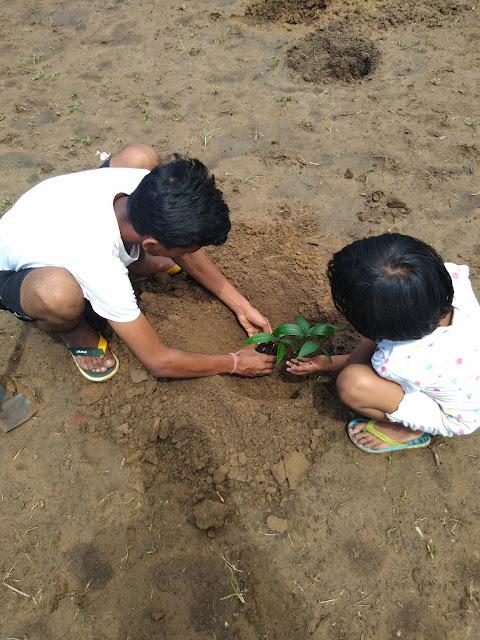 Mango Plantation by kids