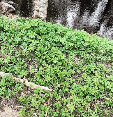 Vuohenputki kasvaa laajoina mattomaisina kasvustoina