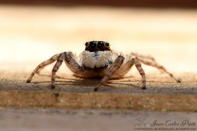 Menemerus Semilimbatus (fotografia-de-naturaleza.blogspot.com)