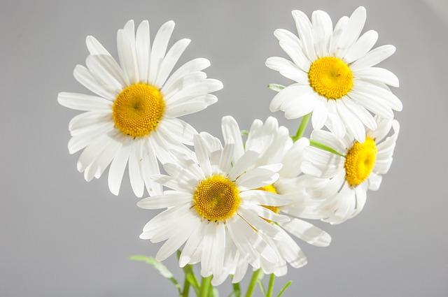 hoa cúc trắng có ý nghĩa gì