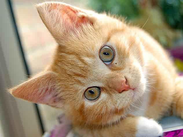 إلتهاب فى عين القطة,القطط وإلتهاب العين,أعراض التهاب عين القطط
