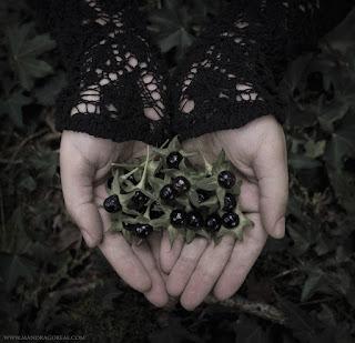 Atropa Belladonna, Deadly Nightshade, Solanaceae, Solano Mayor, Belladona