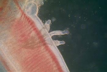 filo platyhelminthes classe monogenea)