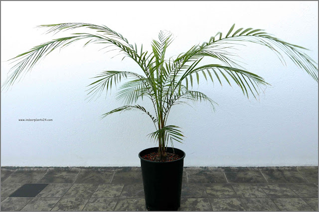palm plant types information